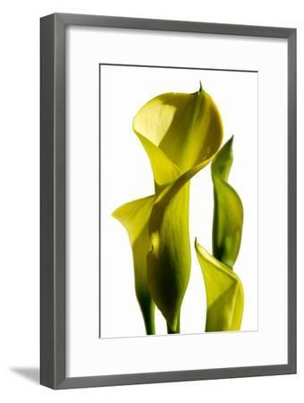 Cala lilies-Charles Bowman-Framed Photographic Print