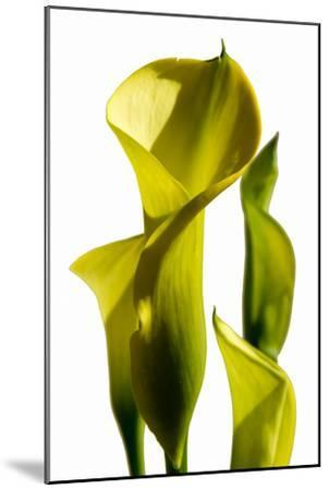 Cala lilies-Charles Bowman-Mounted Photographic Print