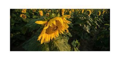Sunflower Field-Steve Gadomski-Framed Photographic Print
