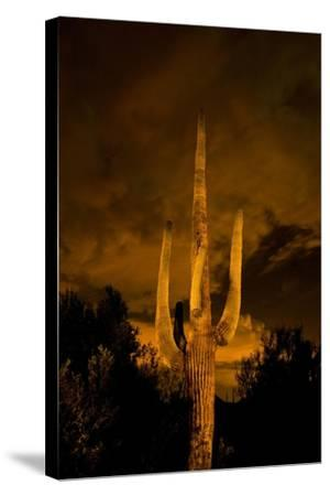 Saguaro Cactus At Night, Arizona-Steve Gadomski-Stretched Canvas Print