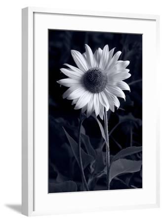 Sunflower In Black & White-Steve Gadomski-Framed Photographic Print