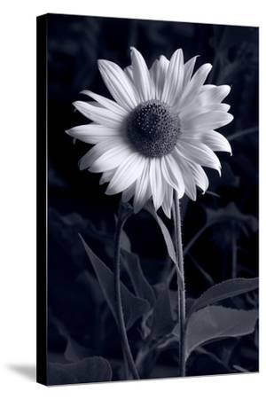 Sunflower In Black & White-Steve Gadomski-Stretched Canvas Print