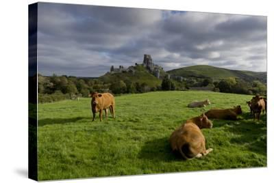 Corfe cows-Charles Bowman-Stretched Canvas Print