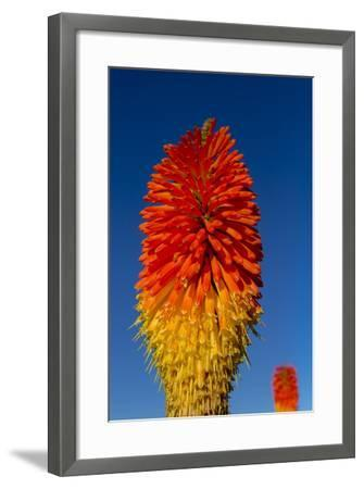 Torch Lily-Charles Bowman-Framed Photographic Print