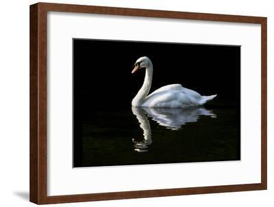 Swan-Charles Bowman-Framed Photographic Print