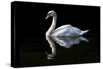 Swan-Charles Bowman-Stretched Canvas Print