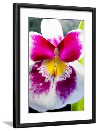 Orchid Miltonia-Charles Bowman-Framed Photographic Print