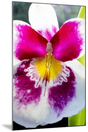 Orchid Miltonia-Charles Bowman-Mounted Photographic Print