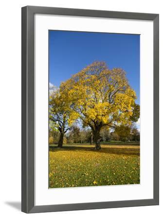 Kew Autumn Tree-Charles Bowman-Framed Photographic Print
