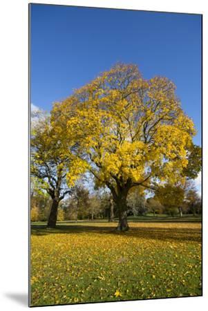 Kew Autumn Tree-Charles Bowman-Mounted Photographic Print