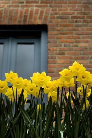 Daffodils-John Gusky-Stretched Canvas Print