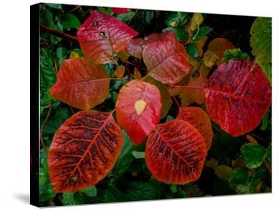 Cotinus Grace 2-Charles Bowman-Stretched Canvas Print