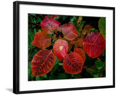 Cotinus Grace 2-Charles Bowman-Framed Photographic Print