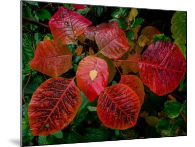Cotinus Grace 2-Charles Bowman-Mounted Photographic Print