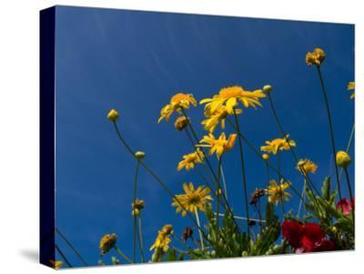 Yellow Flowers-Charles Bowman-Stretched Canvas Print