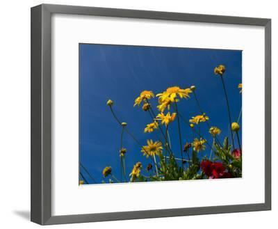 Yellow Flowers-Charles Bowman-Framed Photographic Print