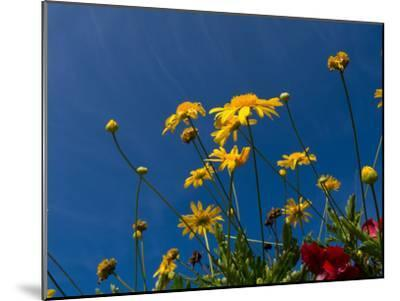 Yellow Flowers-Charles Bowman-Mounted Photographic Print