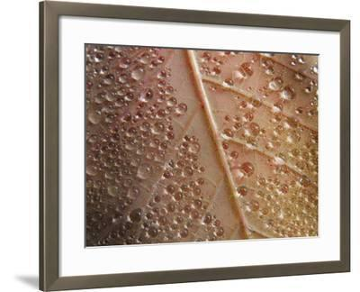 Cotinus Grace 1-Charles Bowman-Framed Photographic Print