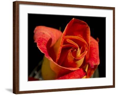 Red Rose-Charles Bowman-Framed Photographic Print