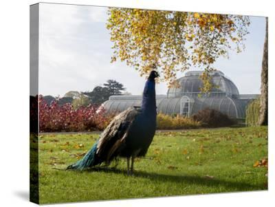 Kew Peacock-Charles Bowman-Stretched Canvas Print