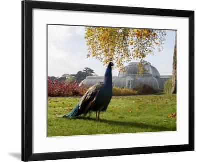 Kew Peacock-Charles Bowman-Framed Photographic Print