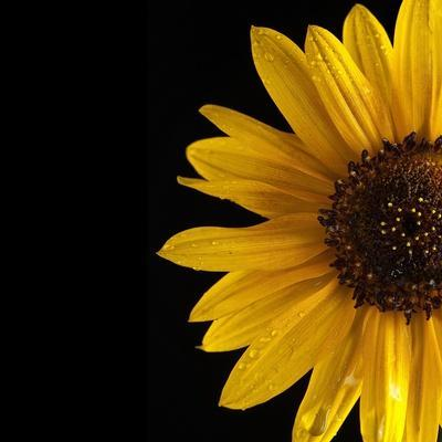 Sunflower Number 3-Steve Gadomski-Mounted Photographic Print