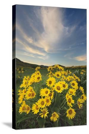 Methow Valley Wildflowers II-Alan Majchrowicz-Stretched Canvas Print