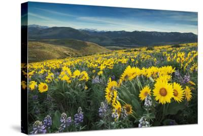 Methow Valley Wildflowers IV-Alan Majchrowicz-Stretched Canvas Print
