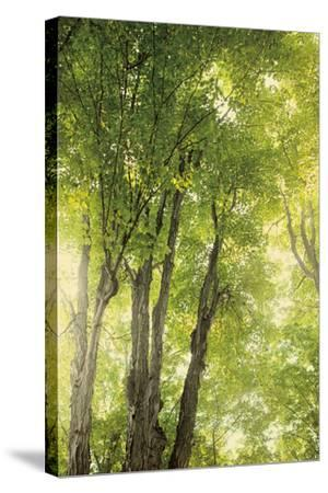 Towering Maples I-Elizabeth Urquhart-Stretched Canvas Print