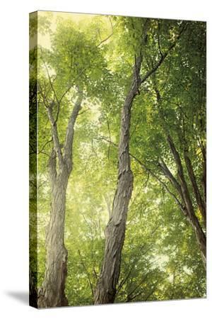 Towering Maples II-Elizabeth Urquhart-Stretched Canvas Print