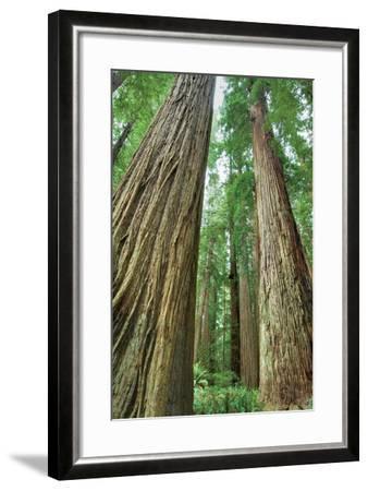 Redwoods Forest II-Alan Majchrowicz-Framed Photo