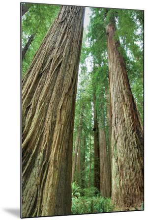Redwoods Forest II-Alan Majchrowicz-Mounted Photo