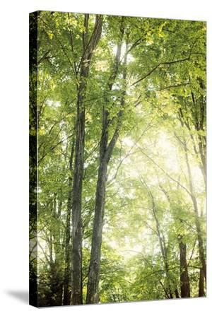 Towering Maples IV-Elizabeth Urquhart-Stretched Canvas Print