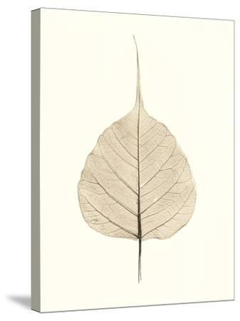 India Ficus-Alan Blaustein-Stretched Canvas Print