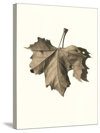 Norway Maple-Alan Blaustein-Stretched Canvas Print