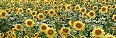 Tuscan Sunflower Pano #1-Alan Blaustein-Framed Photographic Print