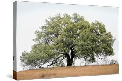 Oak Tree #72-Alan Blaustein-Stretched Canvas Print
