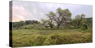 Oak Tree Pano #133-Alan Blaustein-Stretched Canvas Print