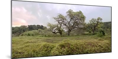Oak Tree Pano #133-Alan Blaustein-Mounted Photographic Print