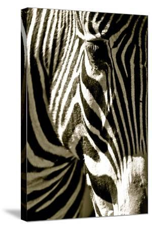 Zebra Head-Courtney Lawhorn-Stretched Canvas Print