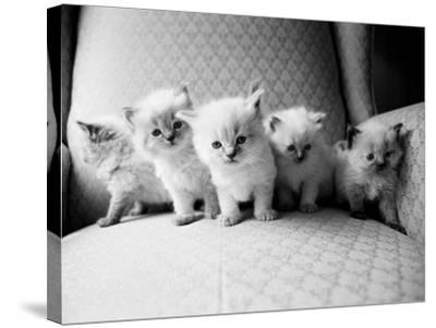 Five Kittens-Kim Levin-Stretched Canvas Print