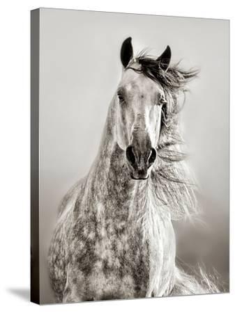 Caballo de Andaluz-Lisa Dearing-Stretched Canvas Print
