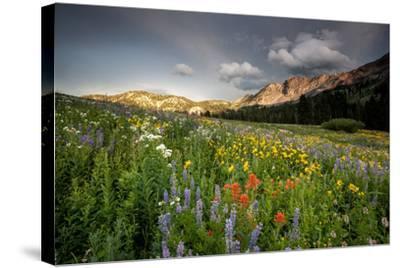 Wildflowers At Peak Season In Albion Basin-Lindsay Daniels-Stretched Canvas Print