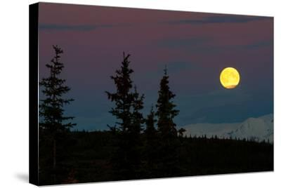 Super Moon Rising In Denali National Park-Lindsay Daniels-Stretched Canvas Print