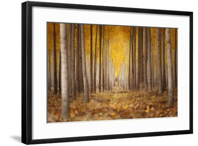 Fall Color In A Tree Farm In Oregon-Joe Azure-Framed Photographic Print