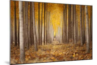 Fall Color In A Tree Farm In Oregon-Joe Azure-Mounted Photographic Print
