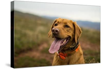 A Fox-Red Pointing Labrador Pants On A Hot Day In Idaho-Hannah Dewey-Stretched Canvas Print