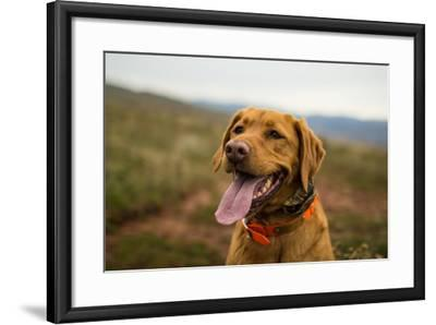 A Fox-Red Pointing Labrador Pants On A Hot Day In Idaho-Hannah Dewey-Framed Photographic Print