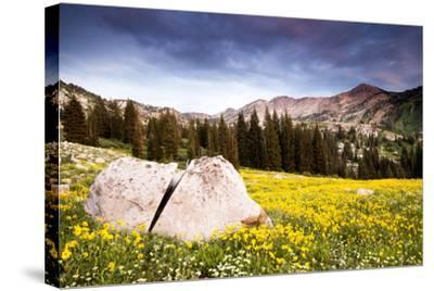 Wildflowers In Albion Basin Little Cottonwood Canyon, Utah-Lindsay Daniels-Stretched Canvas Print