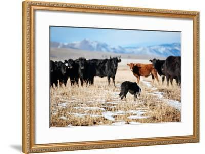 A Border Collie Herds Cattle In Northern Nevada On A High Desert Ranch-Shea Evans-Framed Photographic Print